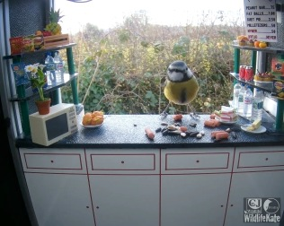 Blue tit on counter 19th Nov_00000