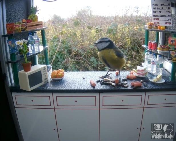 Blue tit on counter 19th Nov_00002