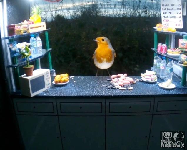 Evening robin 18th Nov_00007