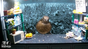 SnackBar_Snowy female blackbird_00000