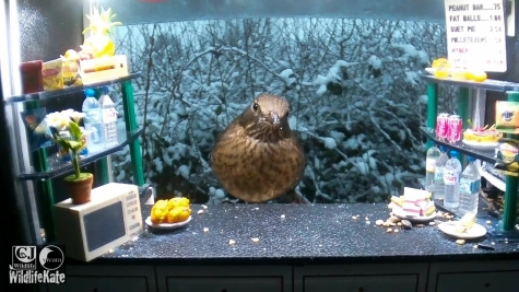 SnackBar_Snowy female blackbird_00000
