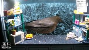 SnackBar_Snowy female blackbird_00001