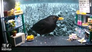 SnackBar_Snowy Male blackbird_00001