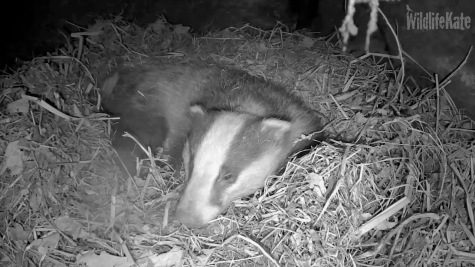 Badger in sett _turning_sleeping 7th Feb 2018_00000