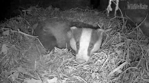 Badger in sett _turning_sleeping 7th Feb 2018_00001