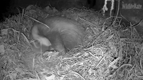 Badger in sett _turning_sleeping 7th Feb 2018_00002