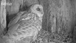 Tawny looking around ox 10th Nov 2018_00000