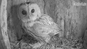 Tawny looking around ox 10th Nov 2018_00001