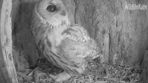 Tawny looking around ox 10th Nov 2018_00002