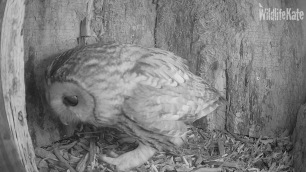 Tawny looking around ox 10th Nov 2018_00003