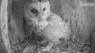 Tawny looking around ox 10th Nov 2018_00004