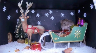 Christmas Vole 1_WildlifeKate
