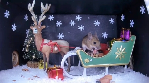 Christmas Wood mouse 3_WildlifeKate