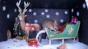 Christmas Wood mouse 4_WildlifeKate