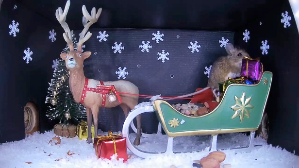 Christmas Wood mouse 6_WildlifeKate